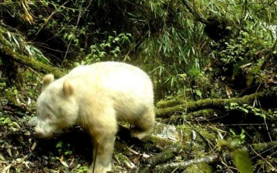 Panda gigante albino visto em reserva natural na China